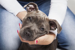 The puppy dog of pitbull. In woman's hands Royalty Free Stock Image