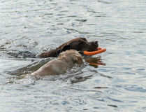 Puppy and Dog Play in Water Stock Images