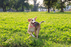 Puppy dog in playing pose on grass at the green meadow Royalty Free Stock Photo