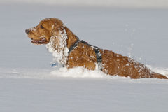 Puppy Dog while playing on the snow. Young cocker spaniel dog looking at you while playing on the snow Stock Photography