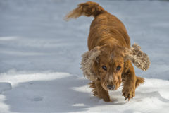 Puppy Dog while playing on the snow. Young cocker spaniel dog looking at you while playing on the snow Royalty Free Stock Photo