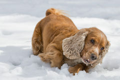 Puppy Dog while playing on the snow. Young cocker spaniel dog looking at you while playing on the snow Stock Photo