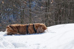 Puppy Dog while playing on the snow. Young cocker spaniel dog looking at you while playing on the snow Royalty Free Stock Images