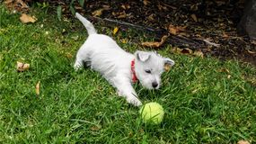 Puppy dog playing with tennis ball: west highland white terrier. Westie having fun on grass lawn outdoors in garden stock photography