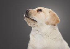 Puppy dog portrait Stock Image