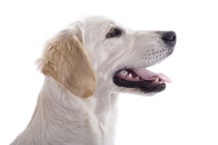 Puppy dog profile. Golden Retriever puppy dog profile - isolated on white background with copy space royalty free stock images