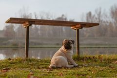 A puppy dog, pug is sitting next to a bench in a park, near a lake or a pond, on grass stock images