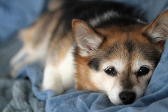 Puppy dog. Lying on bed Stock Images