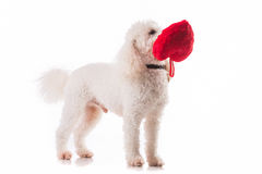 Puppy dog with a red heart. Cute puppy dog with a red heart isolated on white background Stock Images