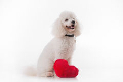 Puppy dog with a red heart. Cute puppy dog with a red heart isolated on white background Royalty Free Stock Images