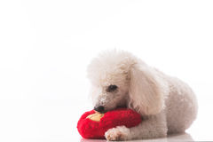 Puppy dog with a red heart. stock photos