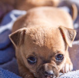 Puppy dog resting and tired Stock Images