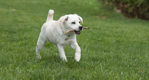 Puppy dog retrieving wooden stick Stock Images