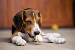 Puppy dog ripping ball apart Beagle dog purebred. Active, adorable, animal, attractive, autumn, beautiful, canine, companion, creature, cute, day, domestic stock photography