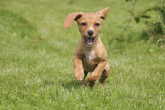 Puppy dog running in grass. Puppy dog running in green grass Royalty Free Stock Photography