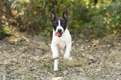 Puppy Dog Running Happy and Funny Royalty Free Stock Photography