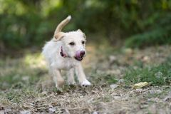 Puppy Dog Running Playful Jumping Outdoors Stock Photography