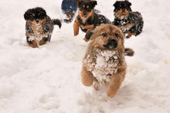 Puppy Dog Running in the snow. Four Puppy Dog Running in the snow Stock Photo
