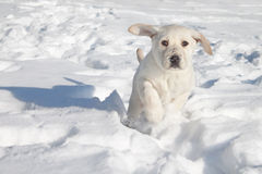 Winter Dog Snow. Winter Labrador puppy dog running in snow Royalty Free Stock Photography
