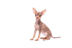 Puppy dog Russian Toy Terrier isolated on white. Background in studio Stock Images