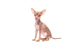 Puppy dog Russian Toy Terrier isolated on white. Background in studio Stock Photography
