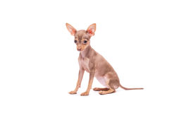Puppy dog Russian Toy Terrier isolated on white. Background in studio Royalty Free Stock Photography