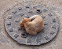 Puppy dog on the sewer cover Stock Photo