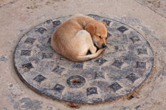 Puppy dog on the sewer cover. Stray puppy dog on the metal sewer covern stock image