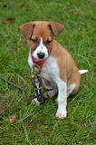 Puppy dog sit Royalty Free Stock Images