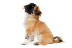 Puppy dog sitting on white background Royalty Free Stock Photography