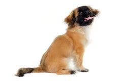 Puppy dog sitting on white background Royalty Free Stock Image