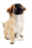 Puppy dog sitting on white background Royalty Free Stock Images