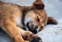 Puppy dog sleeping Stock Photos