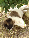 Puppy dog sleeping Stock Images