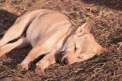 Puppy dog sleeping on ground and morning sunlight Royalty Free Stock Images
