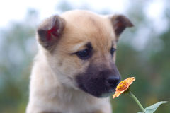 Puppy dog smelling flower 1 Stock Image