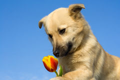 Puppy dog smelling flower 1 Royalty Free Stock Photos