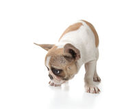 Puppy Dog Sniffing on the Ground Royalty Free Stock Images