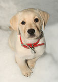 Puppy dog in snow. Puppy labrador dog in snow royalty free stock images