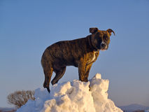 The Puppy of dog on snow snowdrift Royalty Free Stock Photo