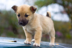 Puppy dog standing Royalty Free Stock Images