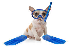Puppy Dog With Swimming Snorkeling Gear royalty free stock photos