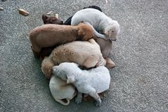 Puppy dog, Thai dog Royalty Free Stock Photos