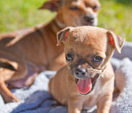 Puppy dog tired and walm Royalty Free Stock Photography