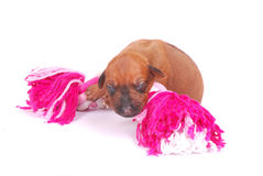 Puppy with dog toy. A cute little newborn Rhodesian Ridgeback hound puppy lying on top of a pink dog toy. Image isolated on white studio background Royalty Free Stock Images