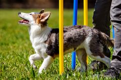 Puppy dog training with weave poles, agility train with help fro. Cute puppy dog training with weave poles, agility train with help from abstacles royalty free stock photos