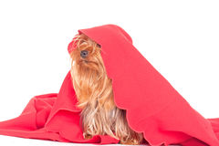 Puppy dog under a blanket Stock Photo