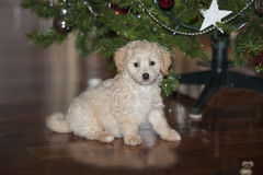 Puppy Dog under Christmas Tree. Maltese-Poodle under the Christmas tree with a shining star in the background Royalty Free Stock Photography