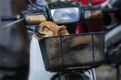 Puppy dog very cute is sleeping in front of  motorbike. Dachshund. Dog food. Pet food. Dog foot. Dog lovers. Pet lovers. Animalia. Animal lovers. Dog training Royalty Free Stock Photography