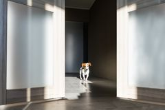 Puppy dog walking along a corridor royalty free stock photo